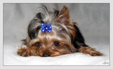 10 причин завести маленькую собаку